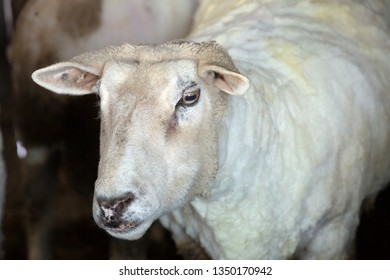 Domestic sheep, Ovis aries, freshly shorn for its wool at a barn in East Windsor, Connecticut, in early March just before lambing season.