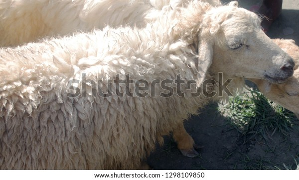 Domestic Sheep Ovis Aries Livestock Sale Stock Photo (Edit