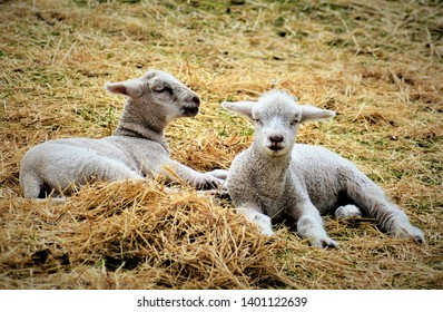 Domestic sheep (Ovis aries) are quadrupedal, ruminant mammals typically kept as livestock. Like most ruminants, sheep are members of the order Artiodactyla, the even-toed ungulates.
