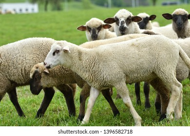 Sheep Images, Stock Photos & Vectors | Shutterstock