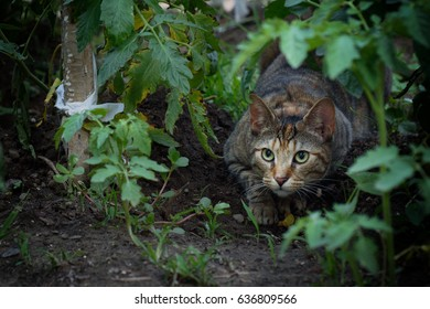 A domestic short hair cat hunting in a vegetable garden.