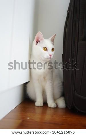 Domestic Short Hair Cat White Coat Stock Photo Edit Now 1041216895