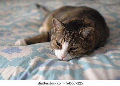 Domestic Short Hair Tabby Cat Lying on Bed, Eyes Open