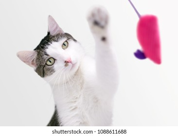 A domestic shorthair cat playing with a toy mouse