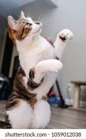 Domestic shorthair cat standing on hind legs with front paws in the air trying to play with a toy that is above her.
