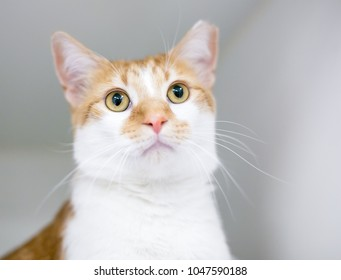 A domestic shorthair cat that has been eartipped to indicate that it has been vaccinated and spayed or neutered