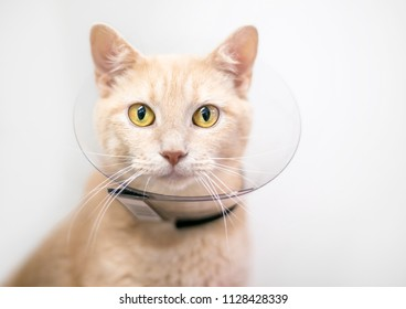 A domestic shorthair cat wearing a protective Elizabethan collar after surgery