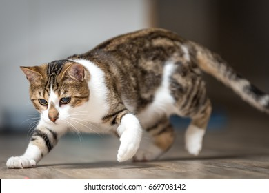Domestic Shorthair House Cat on the Prowl