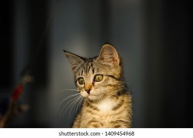 Domestic shorthair tabby kitten portrait outdoors