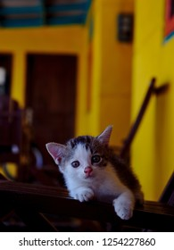 A domestic short-haired cat is a cat of mixed ancestry – thus not belonging to any particular recognized cat breed – possessing a coat of short fur