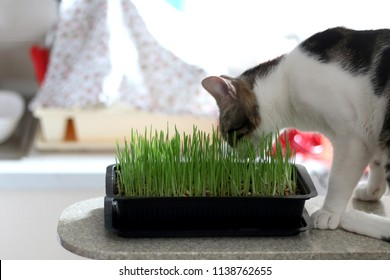 Domestic tabby cat eating cat grass indoor. Selective focus.