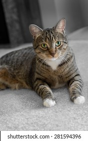 Domestic Tabby Cat on Carpet - greyed background