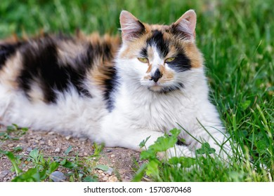 Domestic three-colored cat, looking straight at camera, llying down on the grass, portrait at garden, in summer day