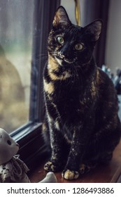 Domestic tortoiseshell cat kitty feline petportrait