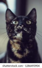 Domestic tortoiseshell cat kitty feline pet portrait