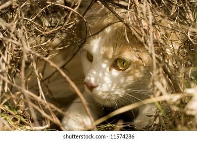 A Domestic Turkish Van Mix cat lurks under a bush and waits for prey.