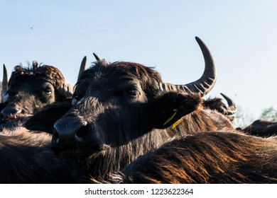 Domestic water buffalo portrait with blue sky