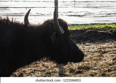Domestic water buffalo portrait in summer