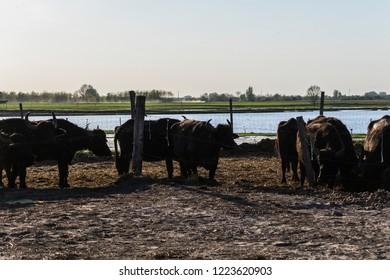 Domestic water buffalos