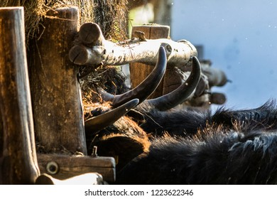 Domestic water buffalos are eating