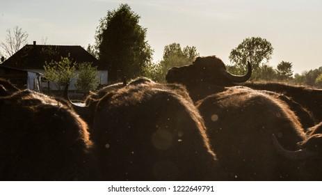 Domestic water buffalos in summer