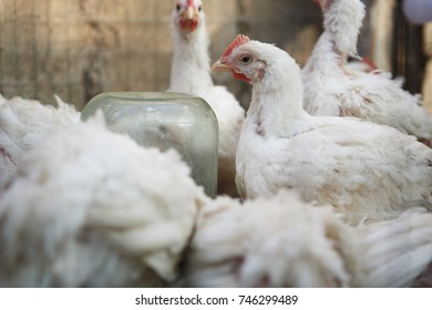 Domestic white chicken drink water from drinking bowl at poultry farm.Hen incubator for domestic birds.Layer hens feeding in chicks incubator on domestic animals farm.