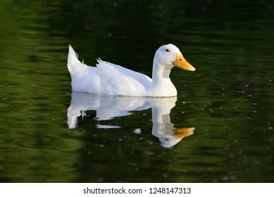 Domestic white Duck on pond