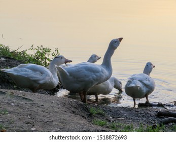 Domestic white geese and ducks at a watering place, drink water in the lake at sunset.