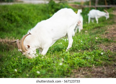 Domestic white goats eating grass on a pasture