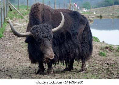 Domestic yak - Bos grunniens, bull at Comrie Wildlife Park, Perthshire, Scotland