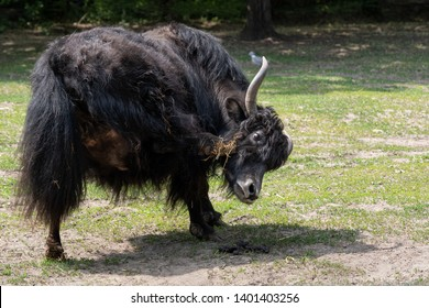 Domestic yak (Bos grunniens) scratching itchy head with a hoof.