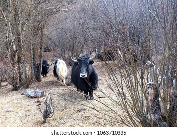 Domestic yak is a long-haired domesticated bovid found throughout the Himalayan region or tibetan yak in chonggu meadow at yading national reserve