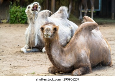 Domesticated (bactrian) camel with another camel photobombing