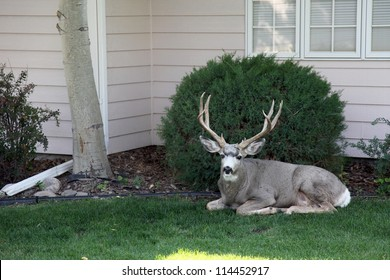 Domesticated buck lost inside a city neighborhood.