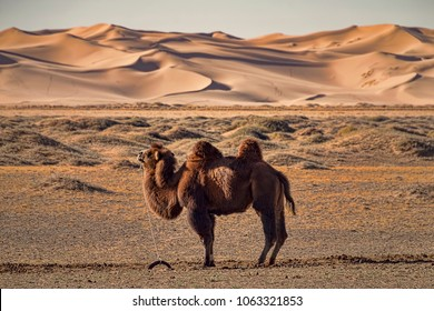 Domesticated Camel Pegged to Ground. Waiting, Standing Camel in Gobi Desert, Mongolia. Side View. Sand Dunes on Horizon.