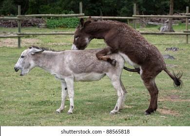 Domesticated donkeys mating on a farm yard