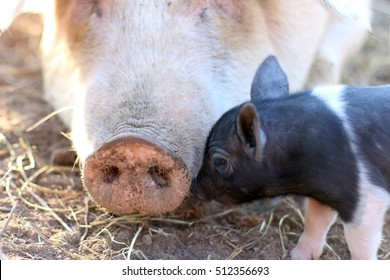 Domesticated Duroc Yorkshire Cross Bred Sow Pig With Five Day Old Piglet Touching Her Snout On A Farm In The Mountains Of South West Virginia