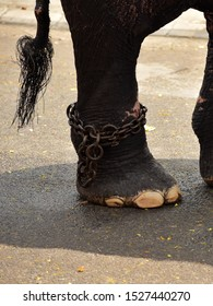 A domesticated Indian elephant's (Elephas maximus indicus) hind leg and tail. An iron chain is tied to the leg, Elephant walking on wet road. Conceptual image of a part of the whole.