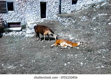 Domesticated llama in their habitat at Vogel lift upper station, Slovenia