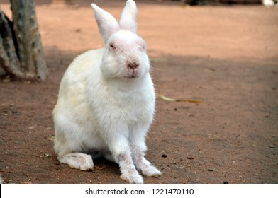A domesticated one eyed rabbit posing for the camera at Sanchi Stupa which is a Buddhist complex, famous for its Great Stupa, on a hilltop at Sanchi Town in Raisen District near Bhopal, Madhya Pradesh