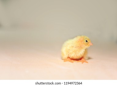 Domesticated quail,Baby of quail after hatching, one little quail