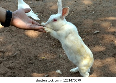 A domesticated rabbit eating out of hand at Sanchi Stupa which is a Buddhist complex, famous for its Great Stupa, on a hilltop at Sanchi Town in Raisen District near Bhopal, Madhya Pradesh, India.