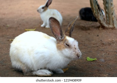 A domesticated rabbit playing at the Sanchi Stupa which is a Buddhist complex, famous for its Great Stupa, on a hilltop at Sanchi Town in Raisen District near Bhopal, Madhya Pradesh, India.