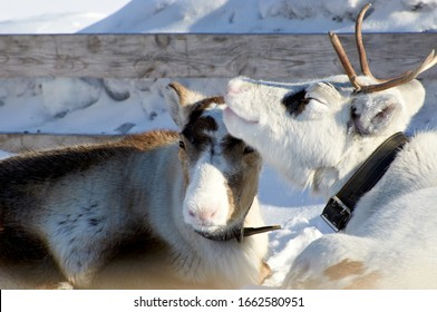 Domesticated reindeer in the far north of Eurasia in winter on snow in coral. Deer love