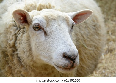 Domesticated sheep on pasture. Happy sheep in the paddock. Sheep ready for shearing wool. Portrait of sheep looking into the distance.