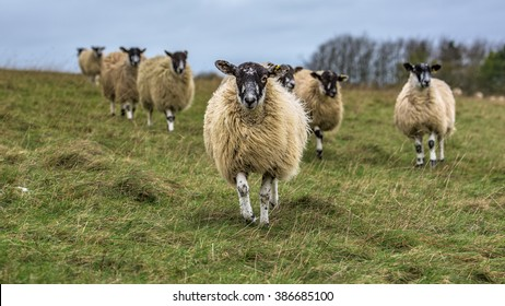 Domesticated woolly sheep on White Horse hill in south Oxfordshire, United Kingdom, running towards the camera with green horizon in the background.