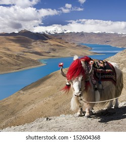 A domesticated yak on the Gambo Pass above Yamdrok Lake in the Tibet Autonomous Region of China.