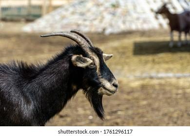 Domestik black goat in the germany park