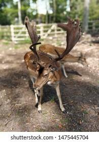 Domestik deer in the animal park Germany