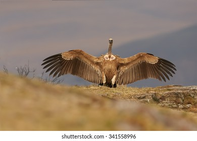 Dominant, adult Cape vulture,Gyps coprotheres, with fully outstretched  wings perched on the edge of the rock in the colorful morning light against distant,blurred Drakensberg mountains in background.